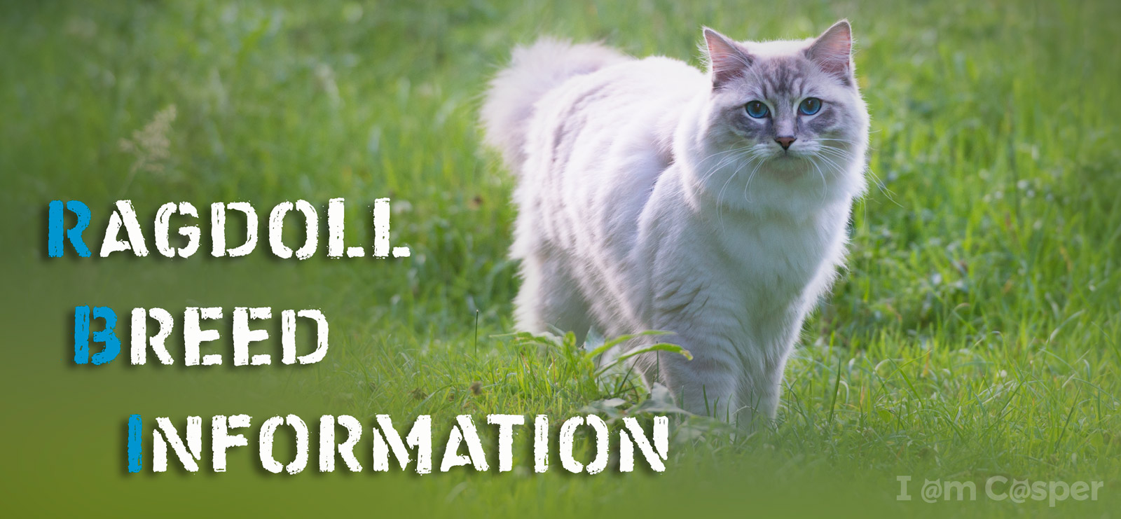Casper ragdoll cat walking in grass and playing all about the ragdoll breed information