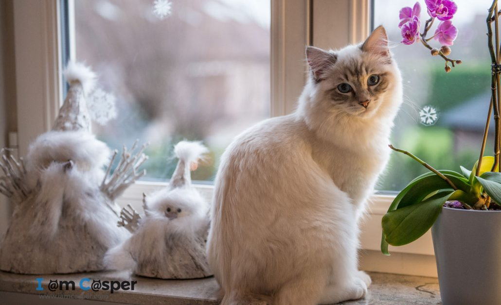 Ragdoll cat sitting on window sill looking at the camera - Focus on eyes for better cat pictures ragdoll casper Casper our ragdoll cat in a cat photo to illustrating what do to improve your cat photography