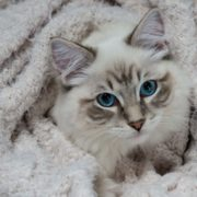Ragdoll Casper wrapped in a sweater comfy, looking up towards the camera - Focus on the eyes for better cat pictures seal lynx ragdoll