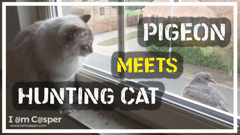 Hunting-Ragdoll-cat-Casper-meets-pigeon-for-website link to our youtube channel