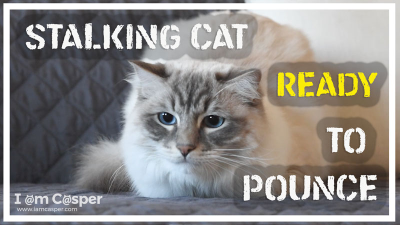 stalking-cat-ready-to-pounce-thumb-for-website with link to our youtube channel
