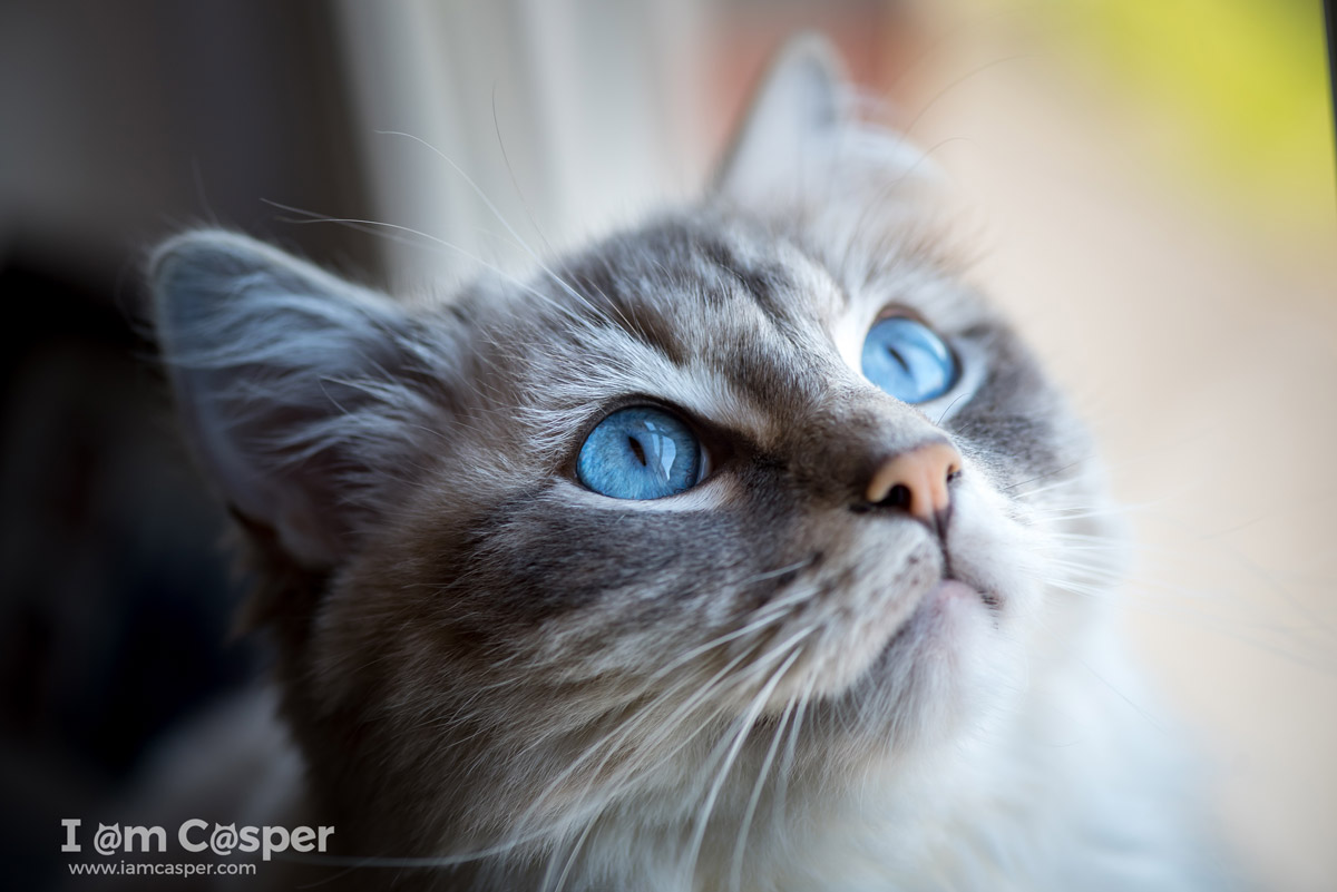 Casper our ragdoll cat in a cat photo to illustrating what do to improve your cat photography Cat-Photography-tips-sharp-eyes-are-essential-for-taking-better-cat-pictures