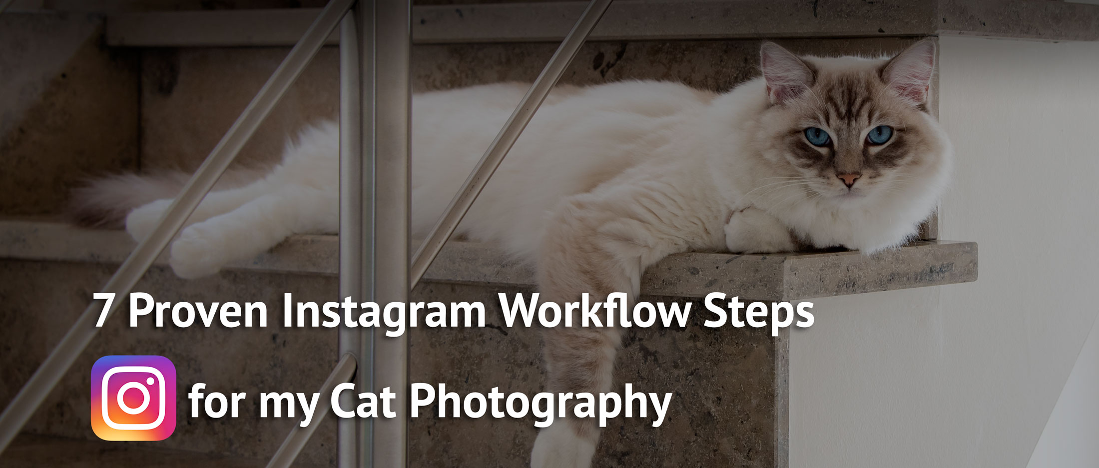 picture of ragdoll cat Casper lying on the stairs watching the camera as a model used as header photo for the blogpost 7 workflow steps for instagram cat photography
