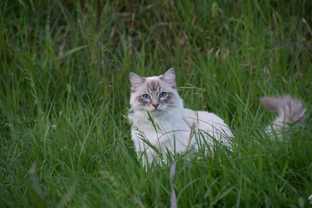 Ragdoll Casper cat on a cloudy day, with diffused light give a nice soft cat photograph