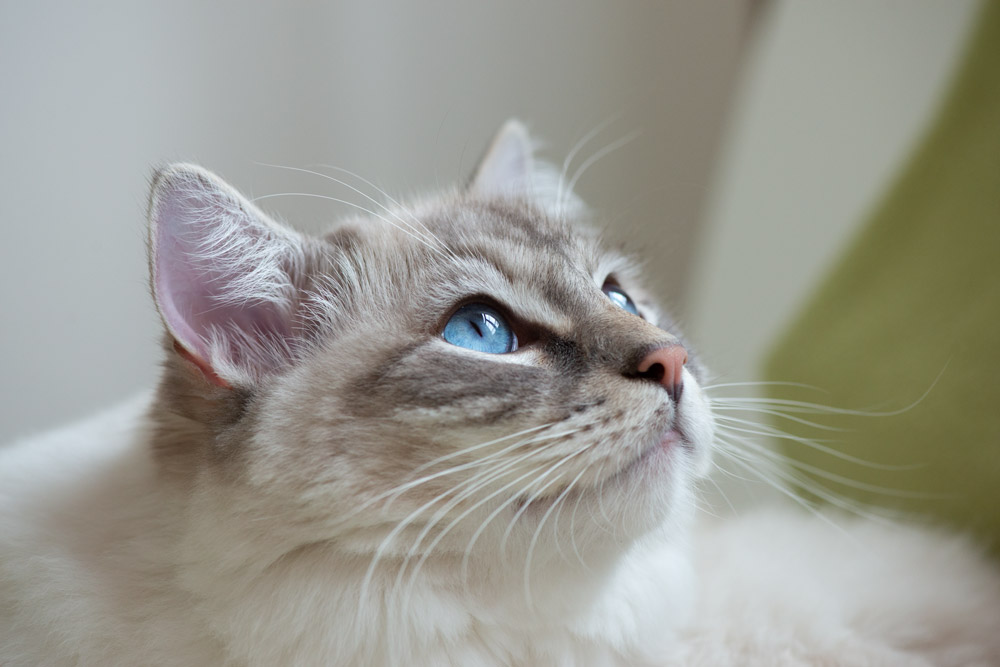 example of cat photography using window light to get right beautiful diffused light on the face of ragdoll cat Casper and to give special effect of catch lights in his eyes