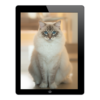 picture of casper ragdoll used in the cat photography made easy ebook tutorial