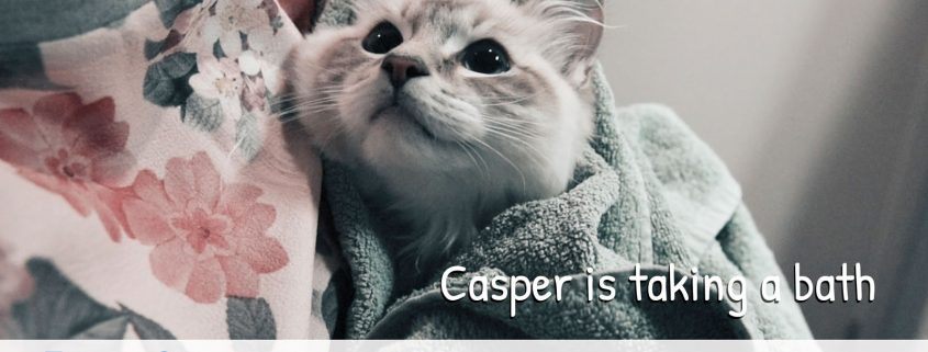 Casper ragdoll is taking a bath - How to give your cat or kitten a bath rules tips and tricks