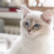 Our ragdoll kitten casper just before he went to his new home with his new human parents iamCasper-introduce-cat-kitten-into-new-home-tips-how-to
