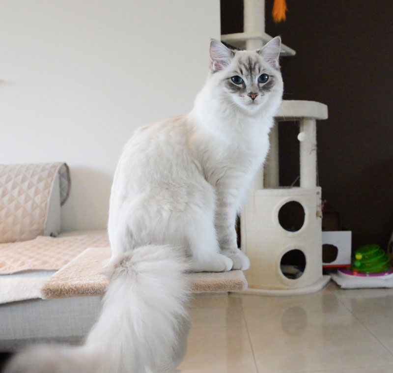 Ragdoll casper cat learning clicker training and how to shake a paw with pictures and cat video