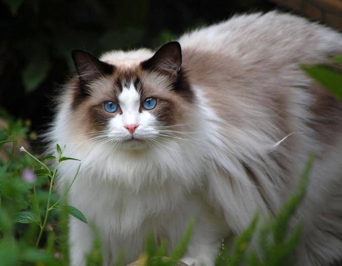 Is There A Breed Of Cat Called Ragdoll
