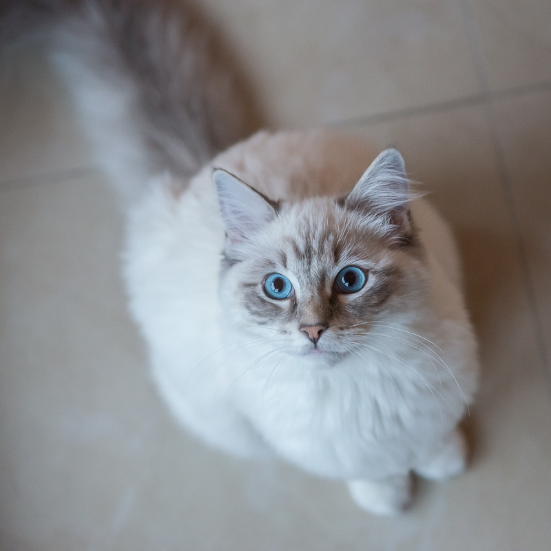 ragdoll-casper-looking-into-camera-at-eye-level - ragdoll-casper-looking-upwards-in camera