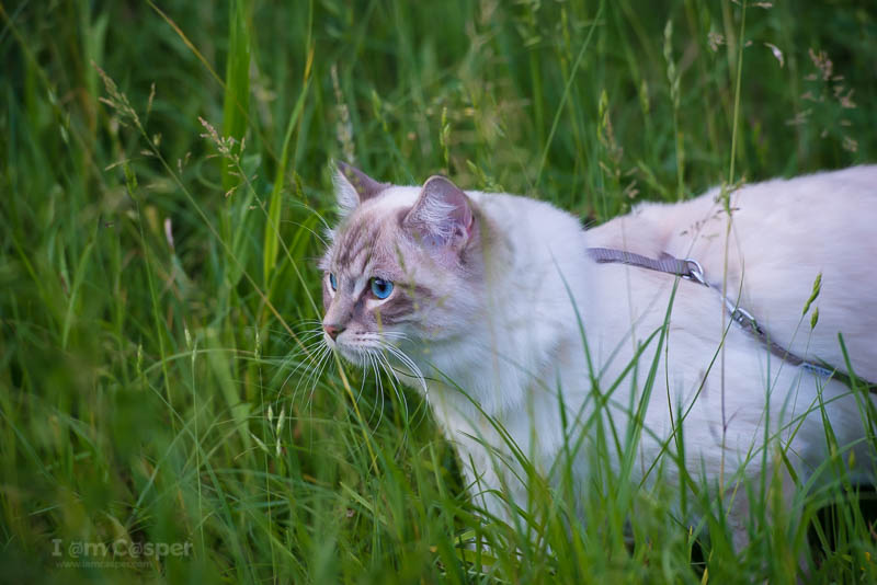 cat outdoor adventure - How to give your indoor cat some outdoor adventures tips and tricks tutorial guide to outdoor adventures cat leash harness