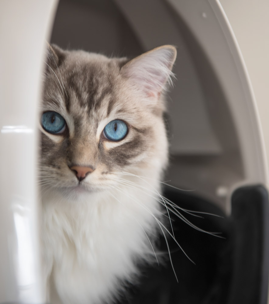 Litter-Robot-Open-Air-Review-self-cleaning-litter-box-Ragdoll-cat-Casper sitting in the robot