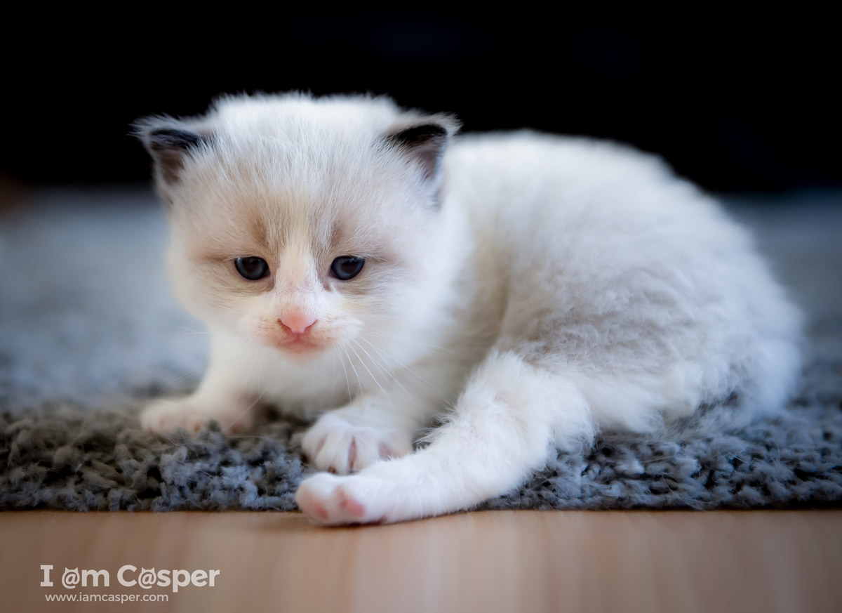 Casper our ragdoll cat in a cat photo to illustrating what do to improve your cat photography-Cat-Photography-tips-get-down-on-eye-level-improve-cat-pictures