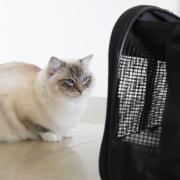 first meeting between ragdoll kitten Binx and resident cat casper