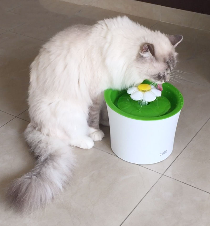 ragdoll cat casper is drinking from the drinking fountain of catit